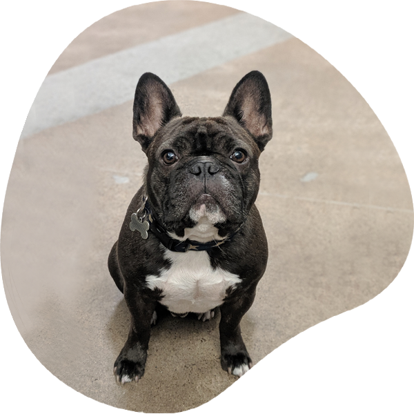Rufus Frenchie